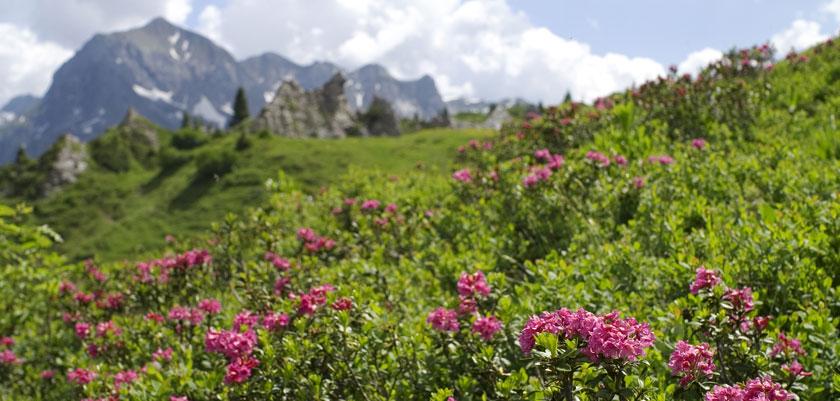 Austria_Lech-summer_Alpine-flowers.jpg